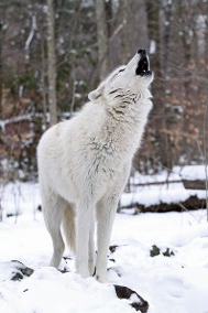 Howling Wolf-Wildlife Photography